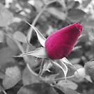 Rose Bud by AcePhotography