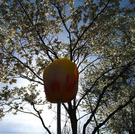 Orange Tulip by AcePhotography