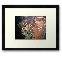 Spider Crabs Framed Print