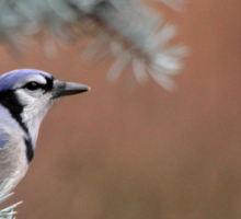Haughty Blue Jay Sticker