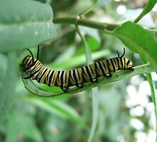 Caterpillar Walk by Emily Sainsbury