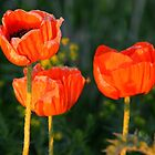 Sunset Poppies by Debbie Oppermann