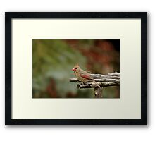 Cardinal Nest Building Framed Print