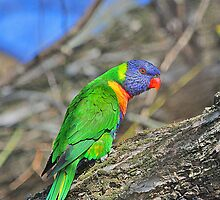 Rainbow Lorikeet  by EOS20
