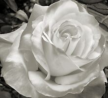 Rose by JuliaWright