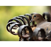 Nesting Mourning Dove Photographic Print