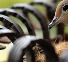 Nesting Mourning Dove Sticker