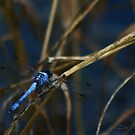 Blue Dragonfly by Darla  Logsdon