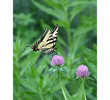 Butterfly on Purple Clover Photographic Print