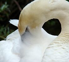 Preening swan by Gotcha  Photography