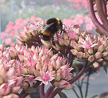 Sedum with Bee by hilarydougill