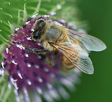 Thistle Bee by Deborah  Benoit