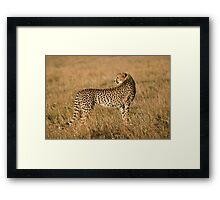Cheetah in Masai Mara Framed Print