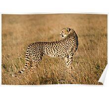 Cheetah in Masai Mara Poster