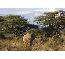 Elephant in Samburu, Kenya Photographic Print