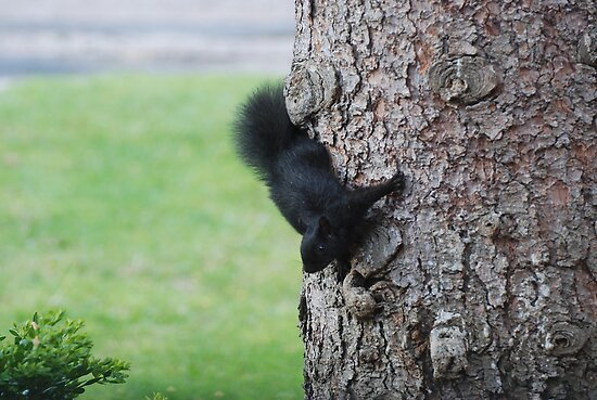 Baby Black Squirrel by Lynda  McDonald