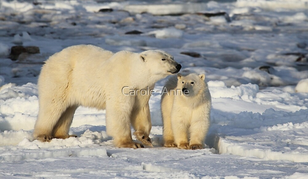 Polar Bear, Mother & Cub, Churchill, Canada  by Carole-Anne