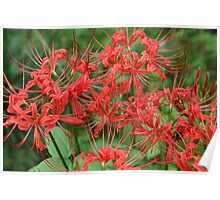 Red Spider Lilies Poster