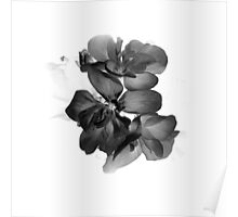 Geranium in black and white Poster