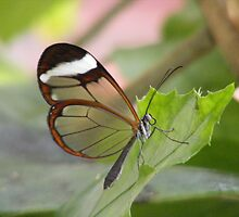 Glass wing by Trevor Fellows