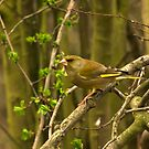 Greenfinch by Trevor Kersley