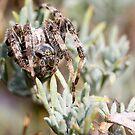 English garden spider by digitaldawn