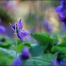 Violets are blue.... by Mary Trebilco