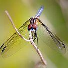 Everglades dragon fly by digitaldawn