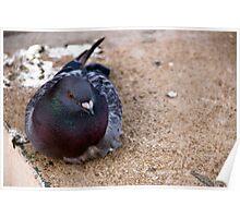 Sitting Pigeon Poster