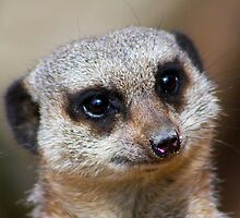 Meerkat Portrait....... by jdmphotography