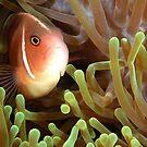 Pink Anemonefish by MattTworkowski
