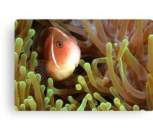 Pink Anemonefish Canvas Print