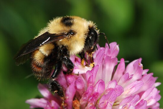Beautiful HoneyBee by Lynda   McDonald