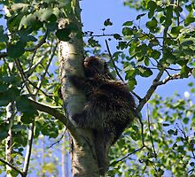 Porcupine up a tree by Molly  Kinsey
