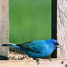 Blue Indgo by BigD