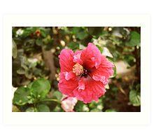 Borneo Hibiscus Art Print