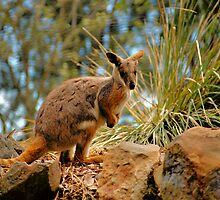 ROCK WALLABY by Cheryl Hall