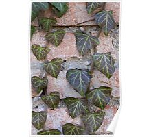 ivy on tree Poster