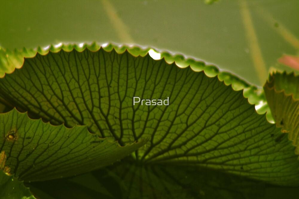 Lily pad by Prasad