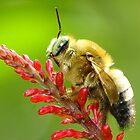 Fat boy(bee) :)) by Tony Wong