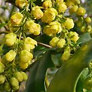 Mahonia - scent in winter by Rivendell7
