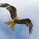 Red Kite 3 by George Ledger