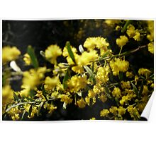 NL- Acacia Blossoms 2 Poster