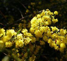 NL- Acacia Blossom 3 by beeden