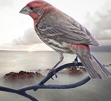 The Beautiful House Finch by LarryB007