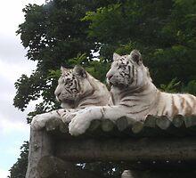 white tigers by punkymonkey
