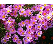 Pink Asters Photographic Print