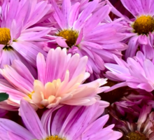 Pink Asters 3 Sticker