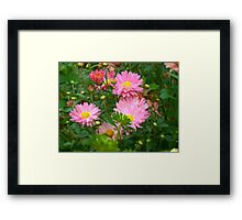 Pink Asters 4 Framed Print
