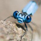blue damselfly, close-up by jude walton